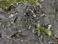 Peltigera praetextata