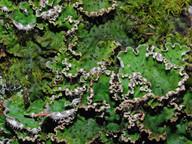 Peltigera aphthosa