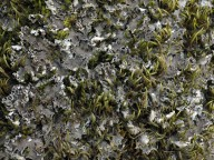 Peltigera collina