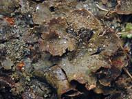 Peltigera lepidophora