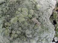Pertusaria hemisphaerica