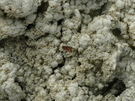 Pertusaria coccodes
