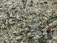 Pertusaria oculata