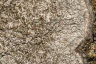 Pertusaria pseudocorallina