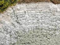 Pertusaria albescens
