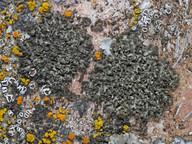 Phaeophyscia nigricans