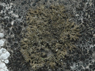 Phaeophyscia nigricans