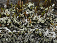 Phaeophyscia kairamoi