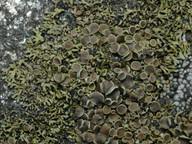 Phaeophyscia endococcina