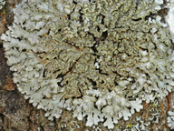 Physconia enteroxantha