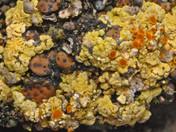 Placidium squamulosum