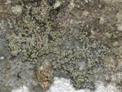 Placynthiella dasaea