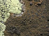 Placynthiella uliginosa