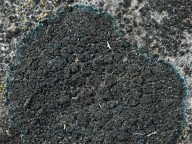 Placynthium nigrum