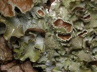 Pleurosticta acetabulum