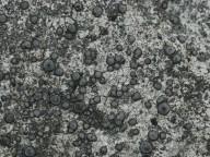 Porpidia tuberculosa