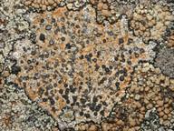 Porpidia cinereoatra