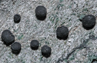 Porpidia macrocarpa