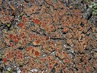 Protopannaria pezizoides