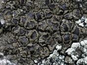 Protoparmelia badia