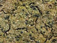 Protothelenella sphinctrinoides