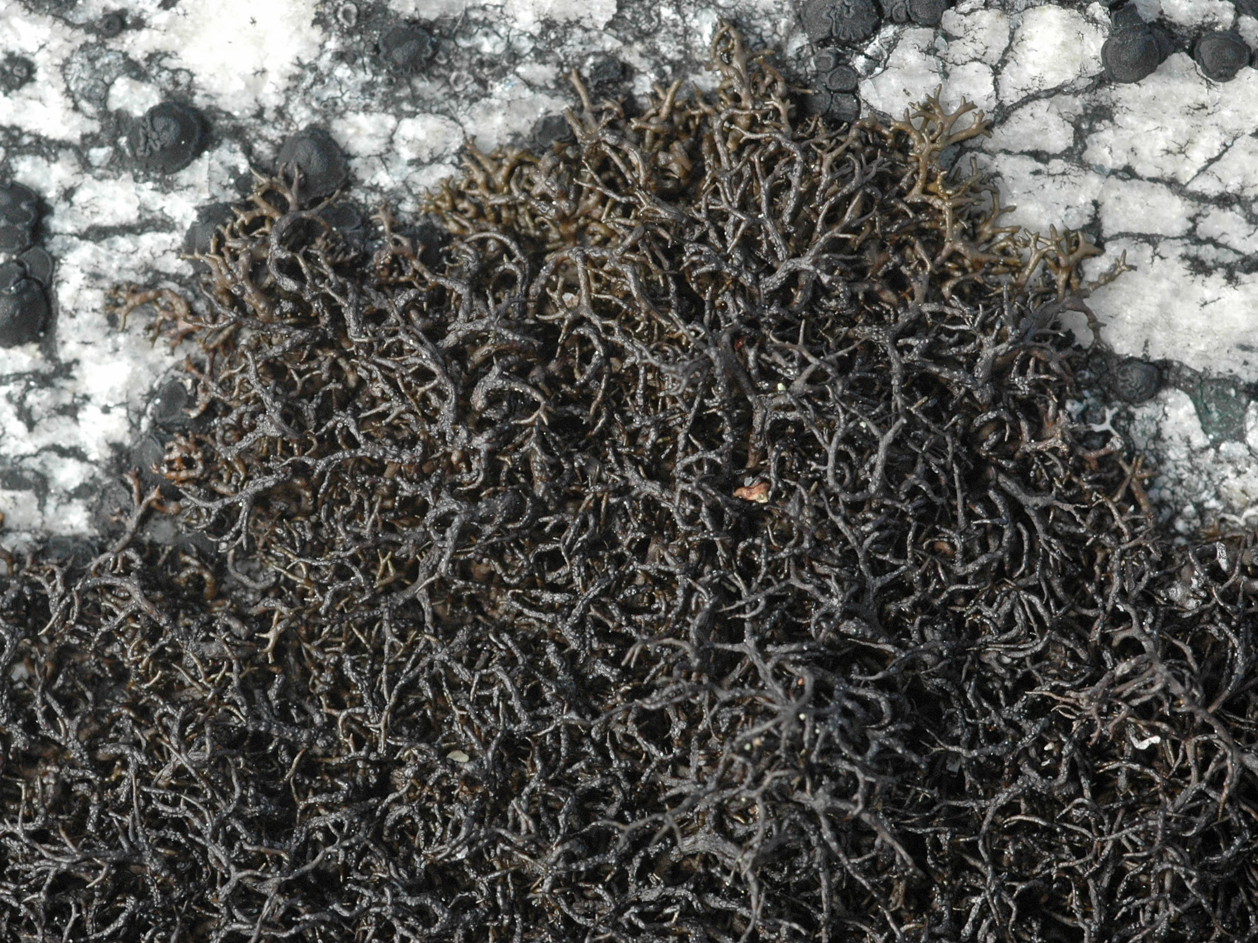 Pseudephebe pubescens