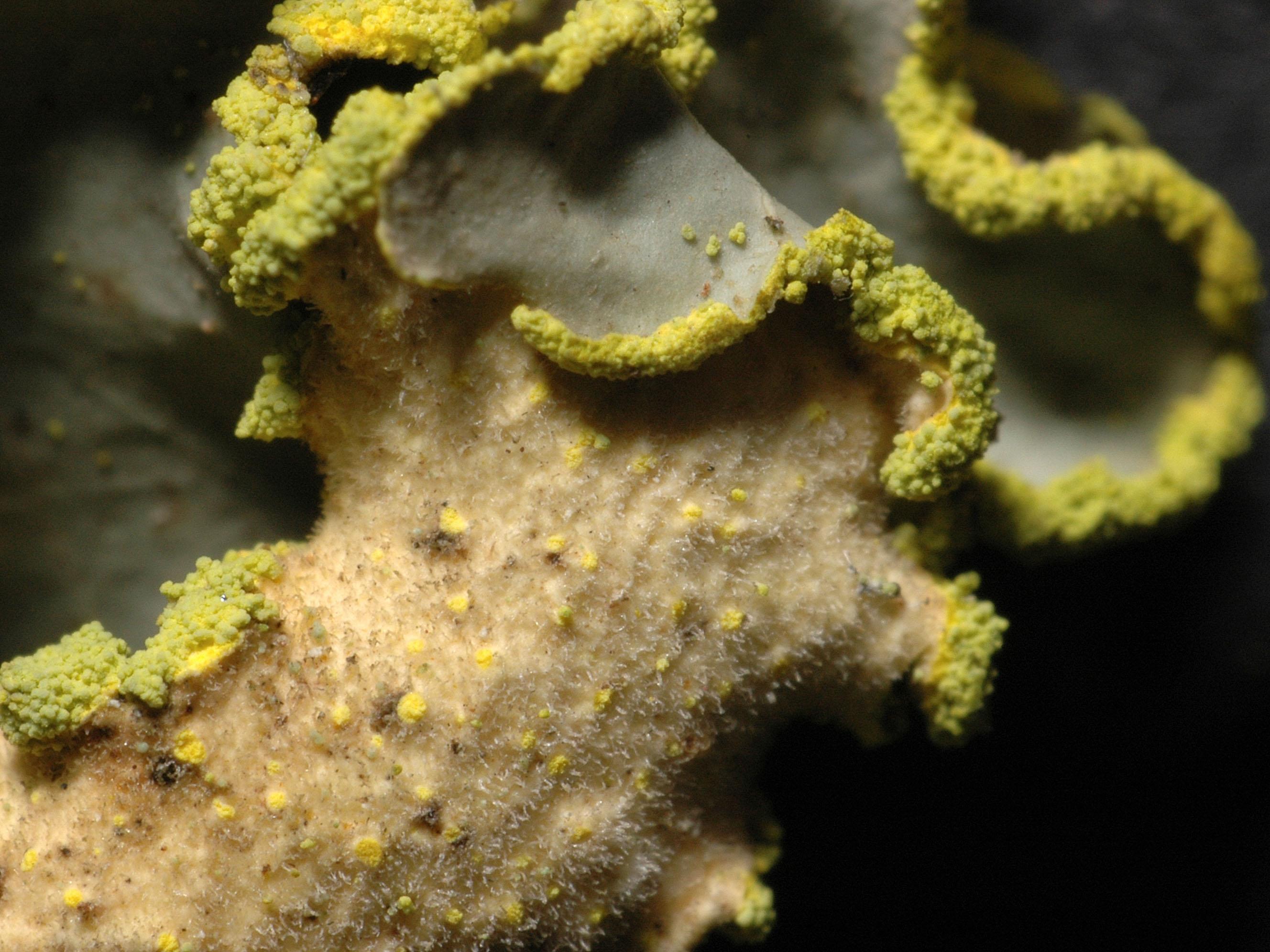 Pseudocyphellaria aurata
