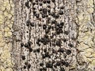 Pyrrhospora elabens