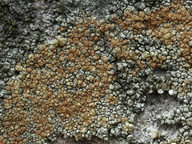 Pyrrhospora rubiginans