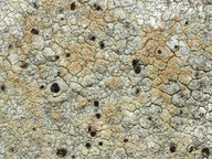 Pyrrhospora rubiginans