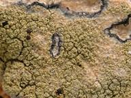 Pyrrhospora quernea