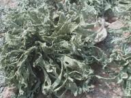 Ramalina siliquosa
