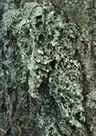 Ramalina fraxinea