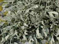 Ramalina polymorpha