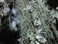 Ramalina thrausta