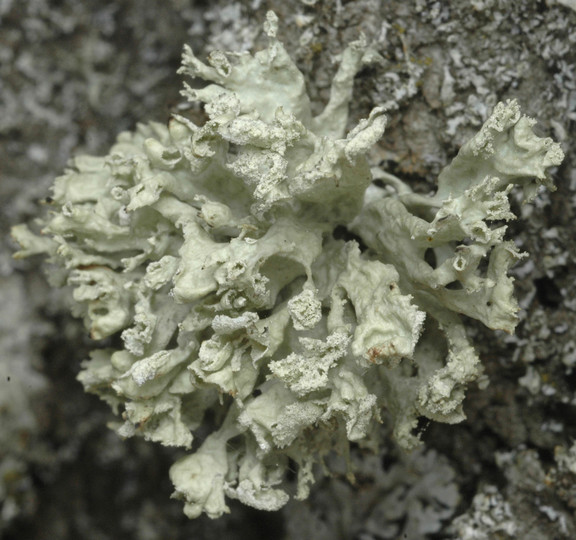 Ramalina baltica