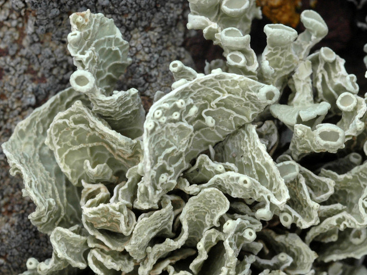 Ramalina bourgeana