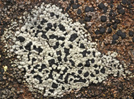 Rhizocarpon cinereovirens