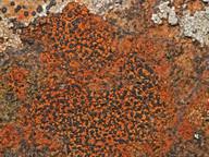Rhizocarpon oederi