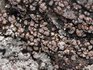 Rimularia badioatra