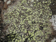 Rinodina efflorescens