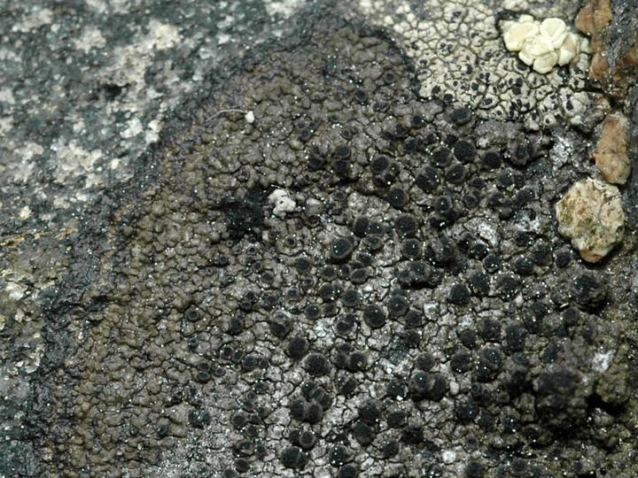 Rinodina interpolata
