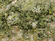 Rinodina bischoffii