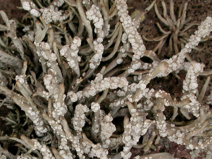 Roccella tuberculata