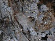Sclerophora amabilis