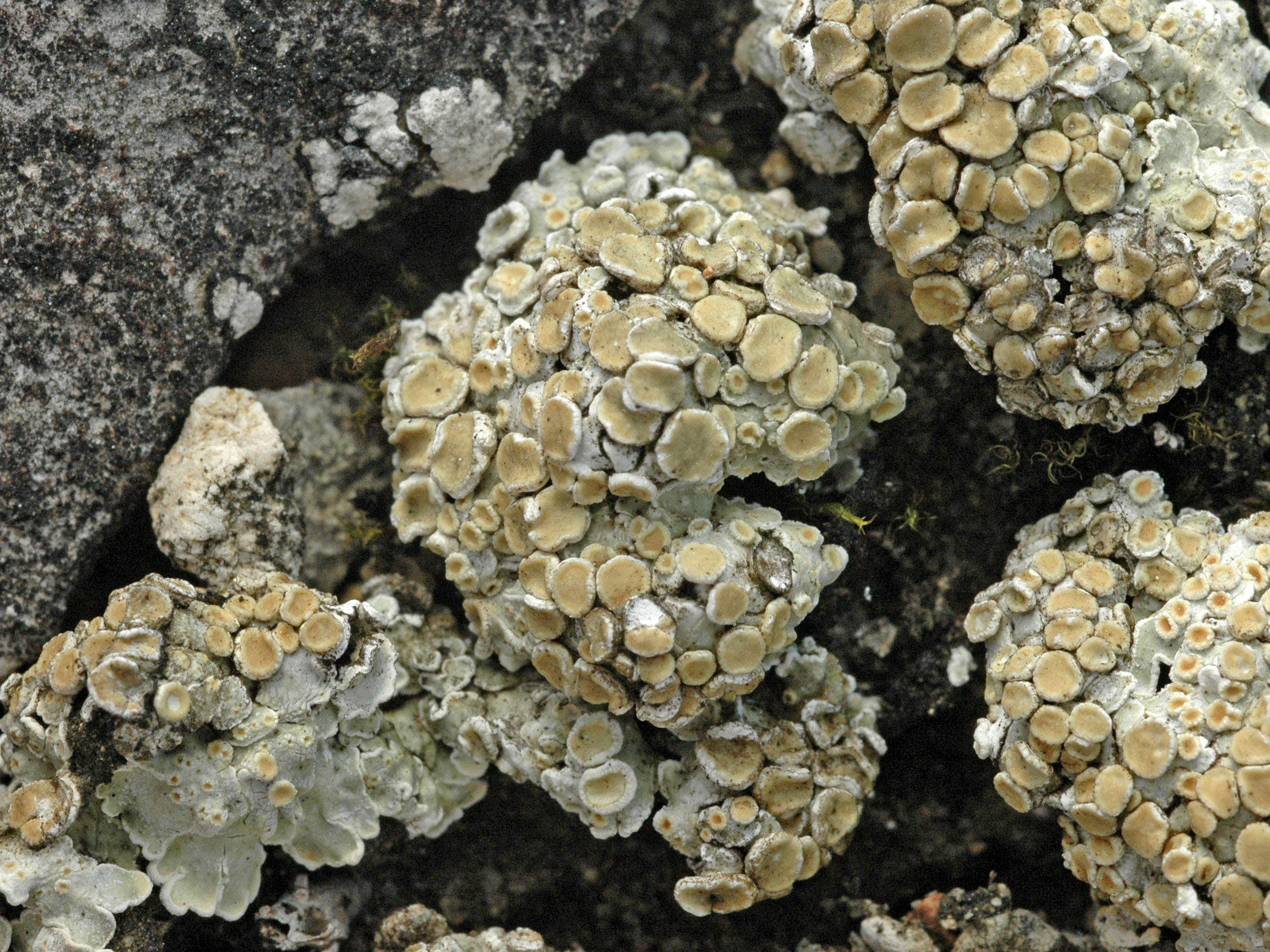 Squamarina lentigera
