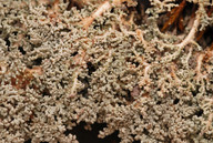 Stereocaulon botryosum
