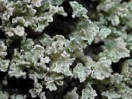 Stereocaulon coniophyllum