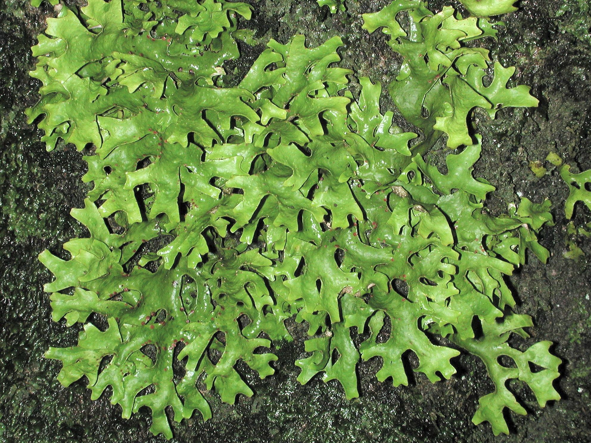 Sticta canariensis