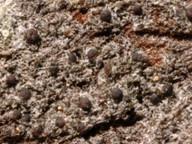 Strangospora pinicola
